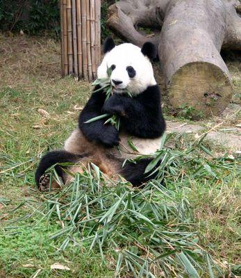 Panda bei einer seiner 3 Lieblingsbeschäftigungen