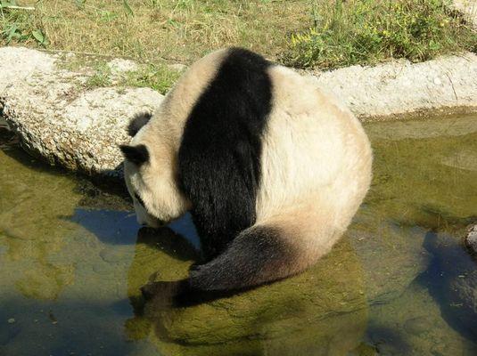 Panda beim Trinken