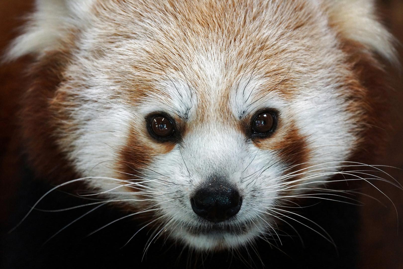 Panda-Blick