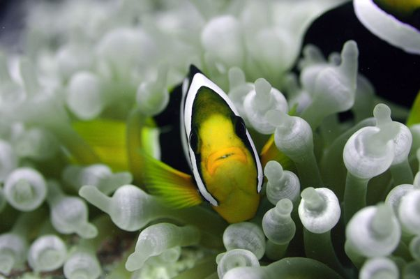 Panda - Clownfisch