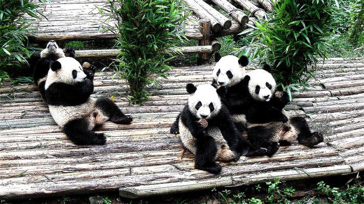 Panda love biscuit