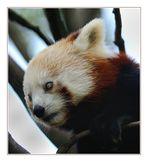 Panda minore.