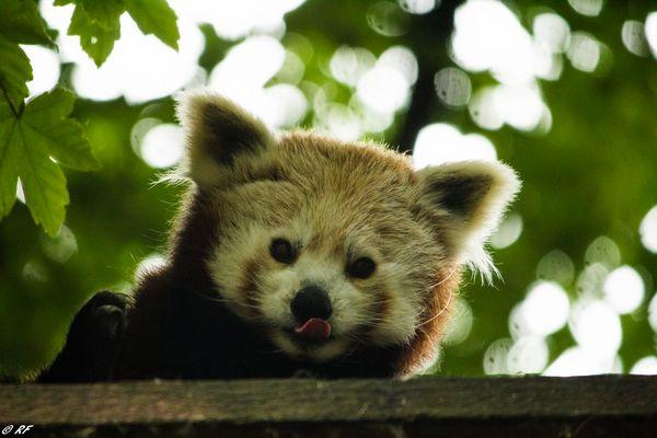 Panda Roux Lillois