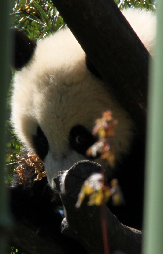 Pandababy Fu Hu