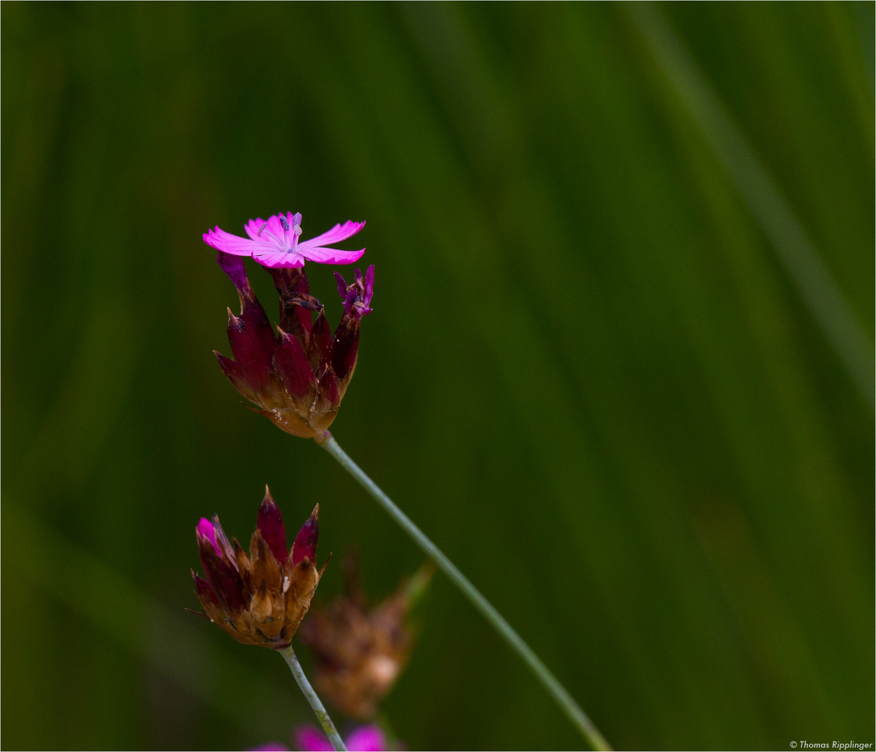 Pannonische Karthäusernelke (Dianthus carthusianorum)