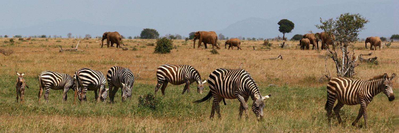 Panorama Kenia Zebra Elefanten