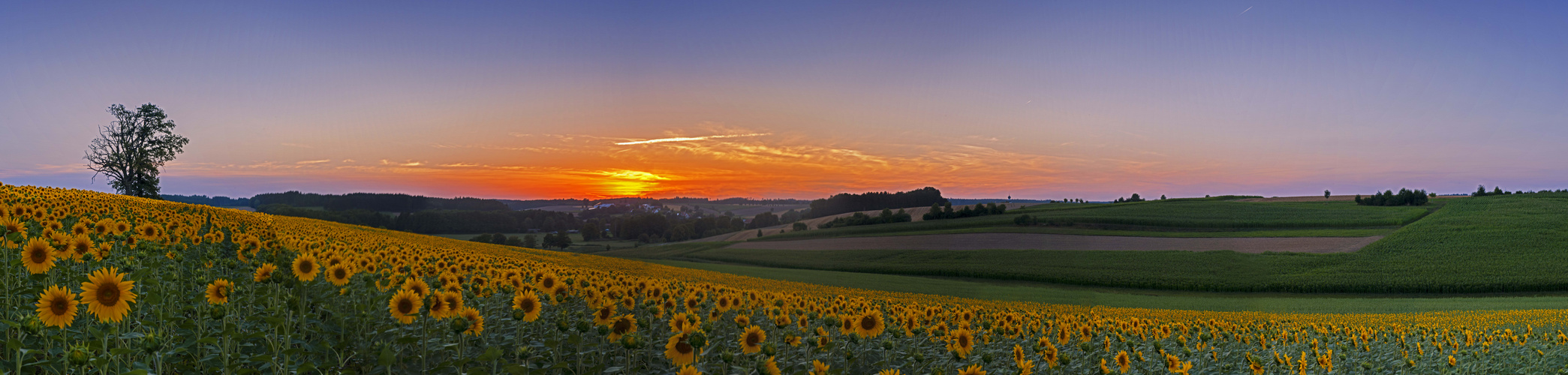 Panorama Sonnenblumenfeld im SU