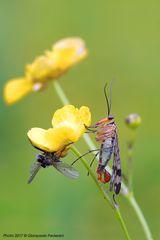Panorpa communis  (maschio) - Mosca scorpione