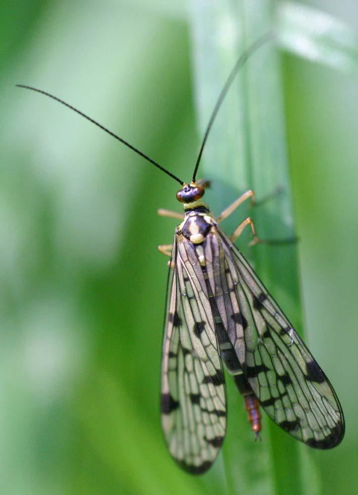 panorpe ou mouche scorpion