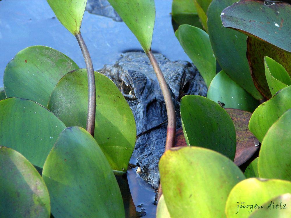 Pantanal: Auf der Lauer