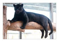 Panther / Black Jaguar