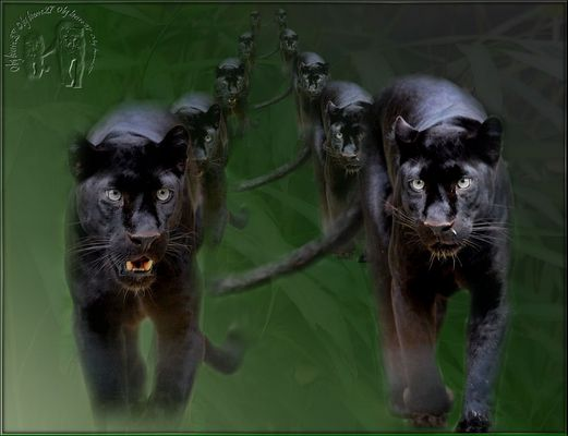 Panther is coming