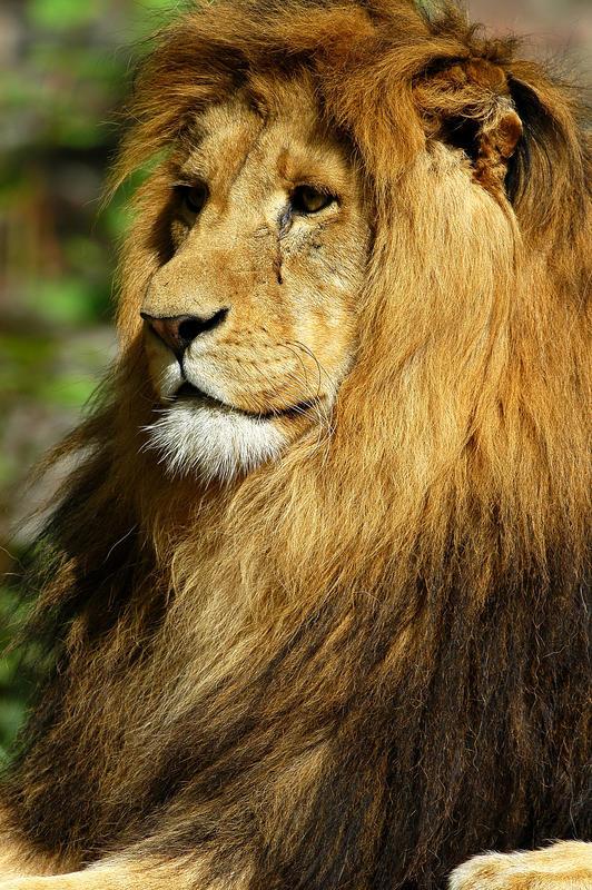 Panthera leo - Portr.