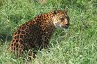 Panthera Paradus