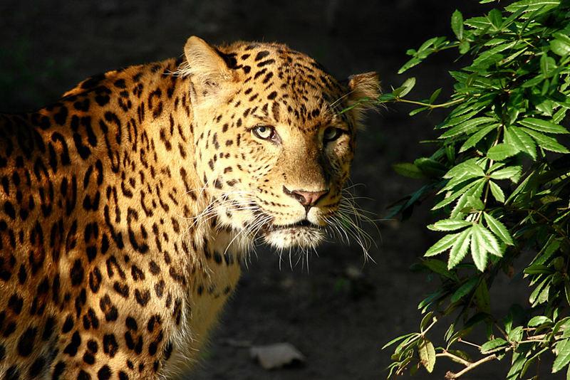 Panthera pardus japonensis