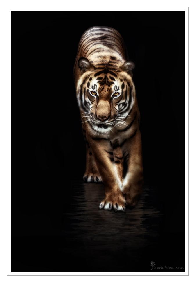 Panthera tigris corbetti