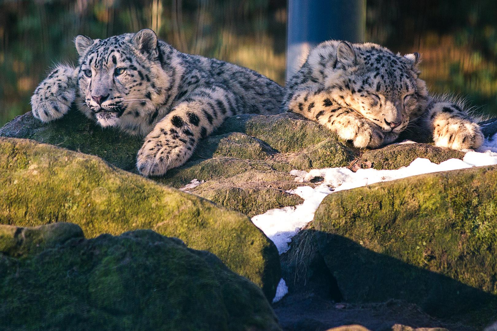 Panthera uncia II