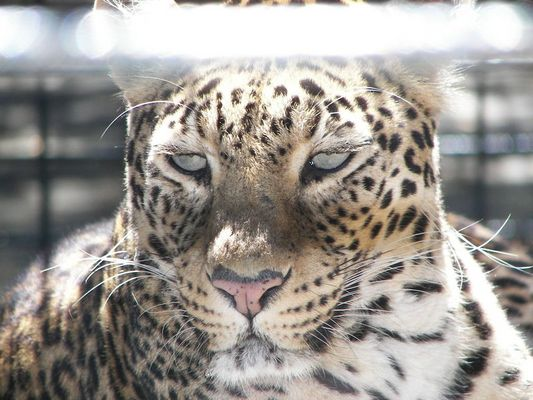 Panthere 2