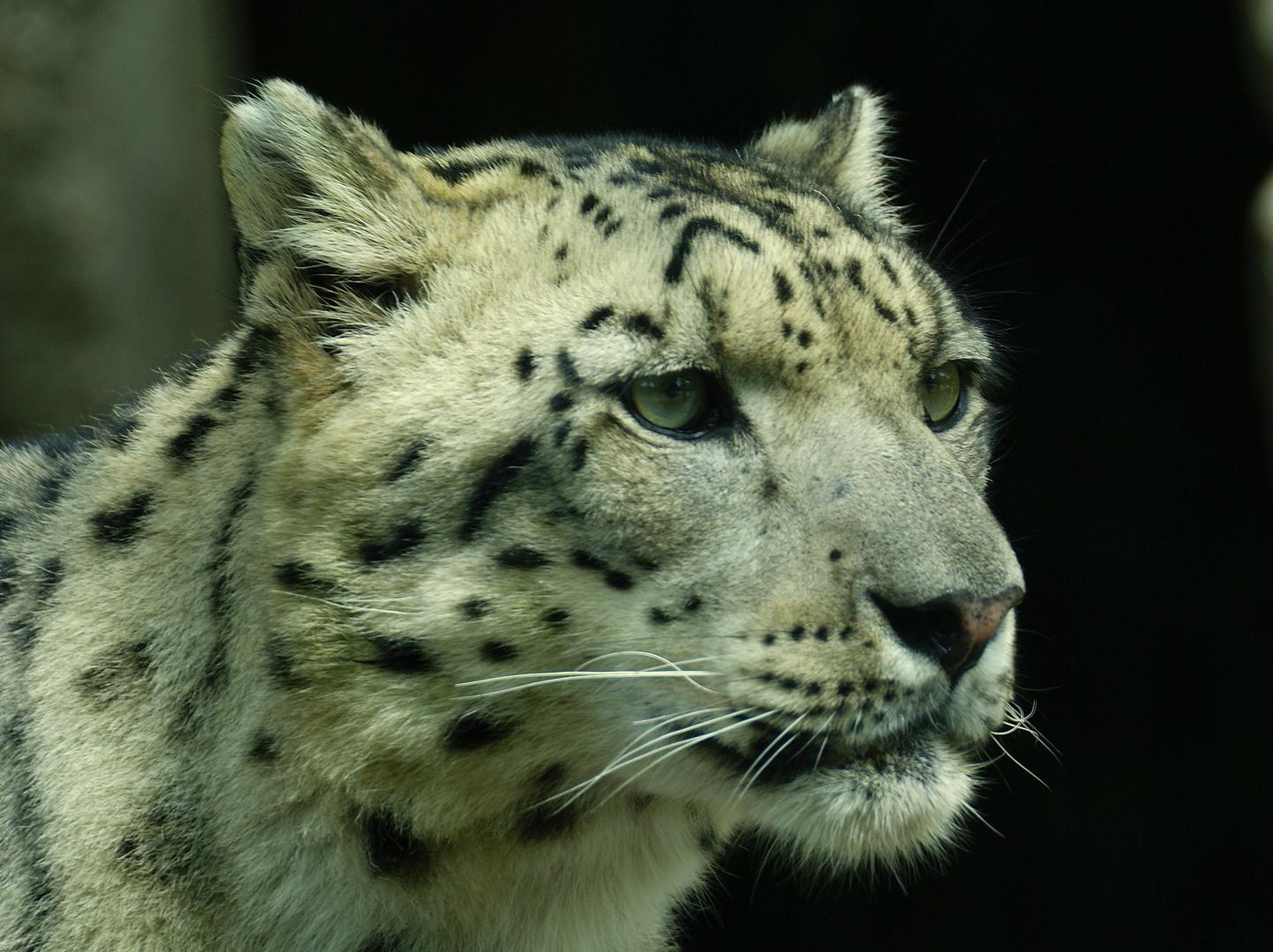 Panth re des neige m nagerie du jardin des plantes photo et image animaux zoo et animaux en - Animaux du jardin des plantes ...