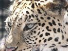 Panthère du zoo de LA TESTE(Arcachon)
