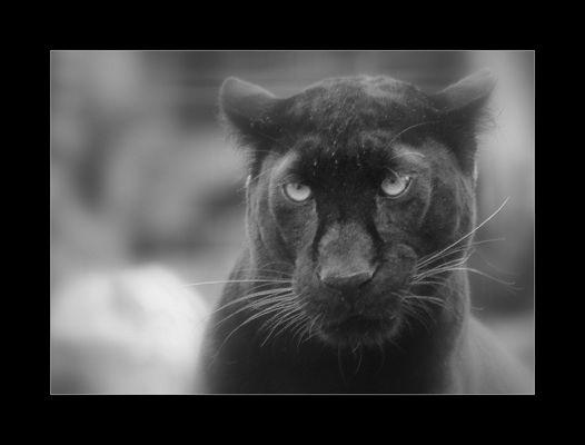 Panthère noir 2