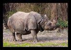 Panzernashorn Berliner Zoo
