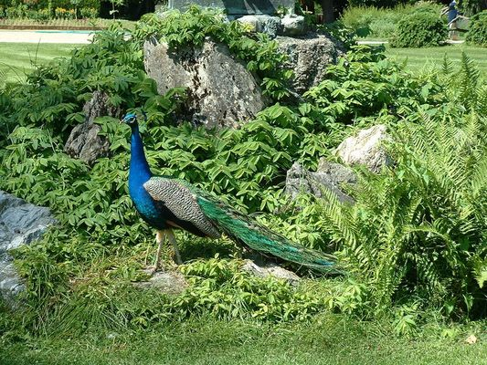 Paon au jardin Massey de Tarbes