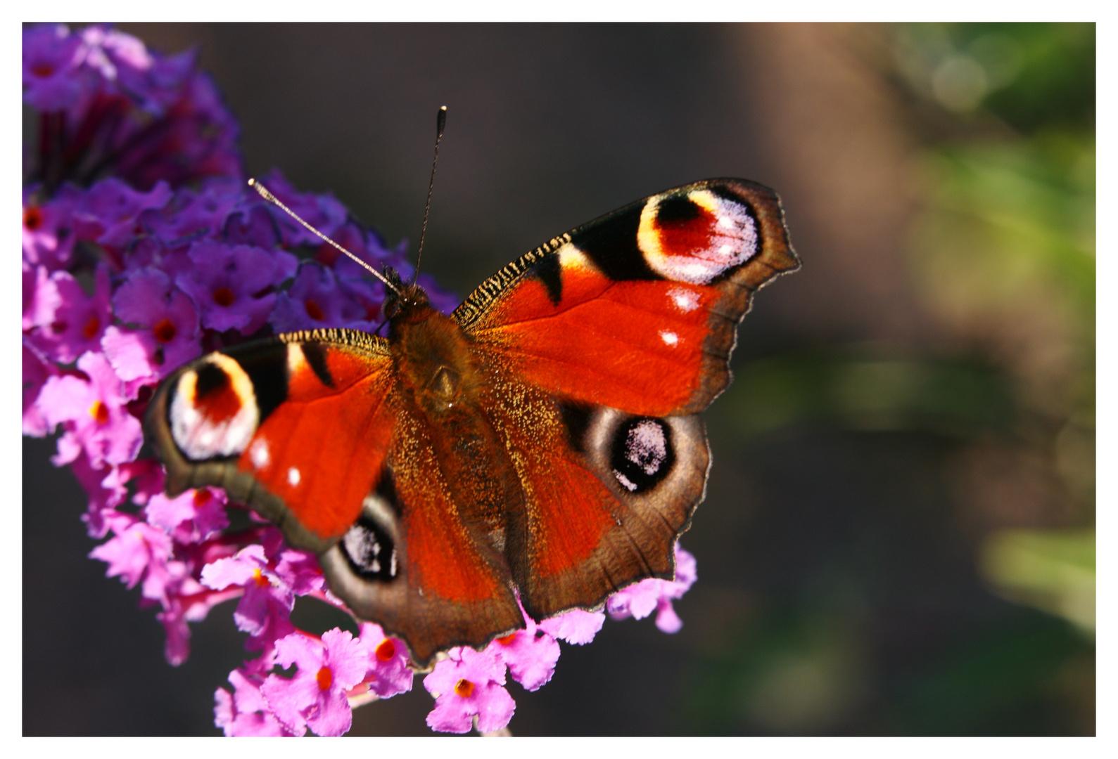 Paon de jour sur arbre à papillons