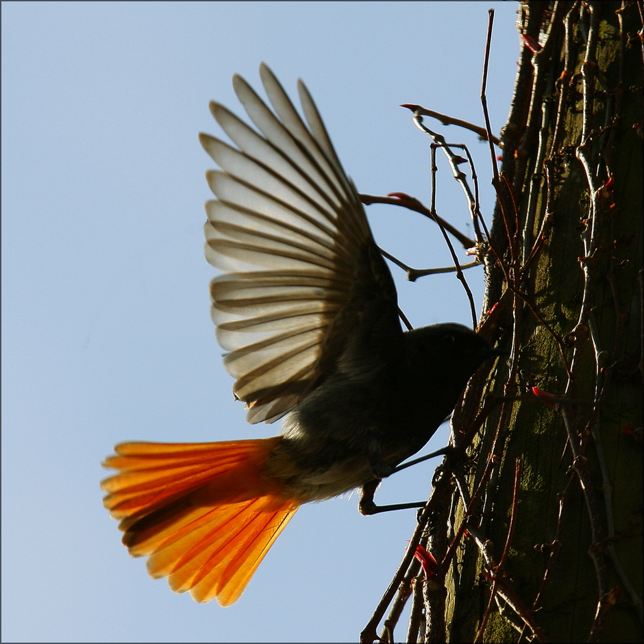 Papa Rotschwanz beim Insektenfangen