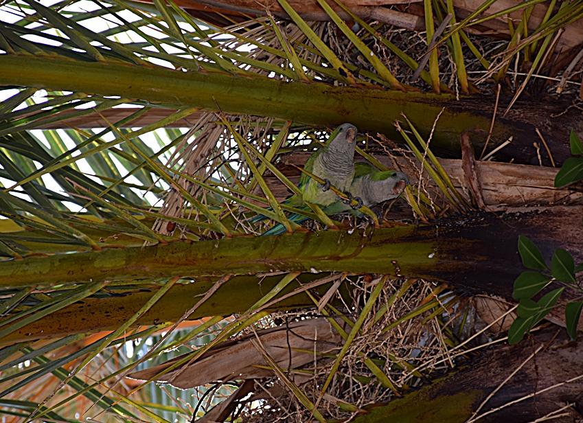 Papagaienpaar in Malaga....