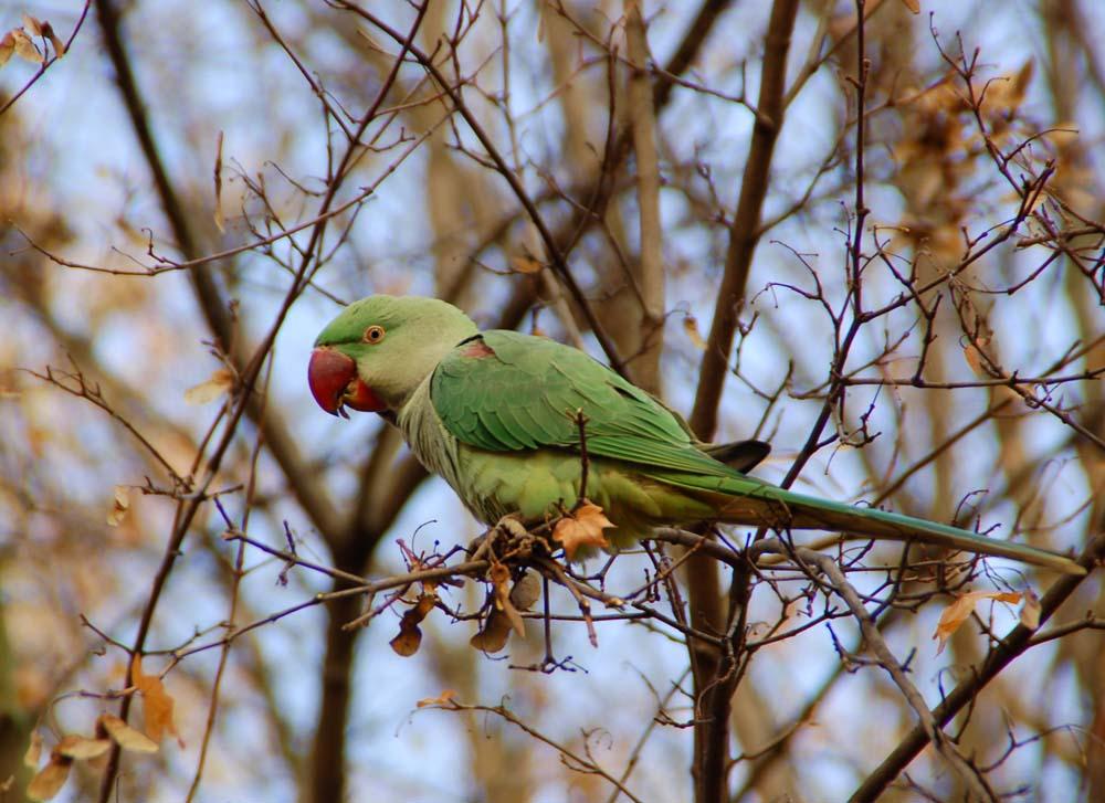 Papagei im Biebricher Schloßpark 1