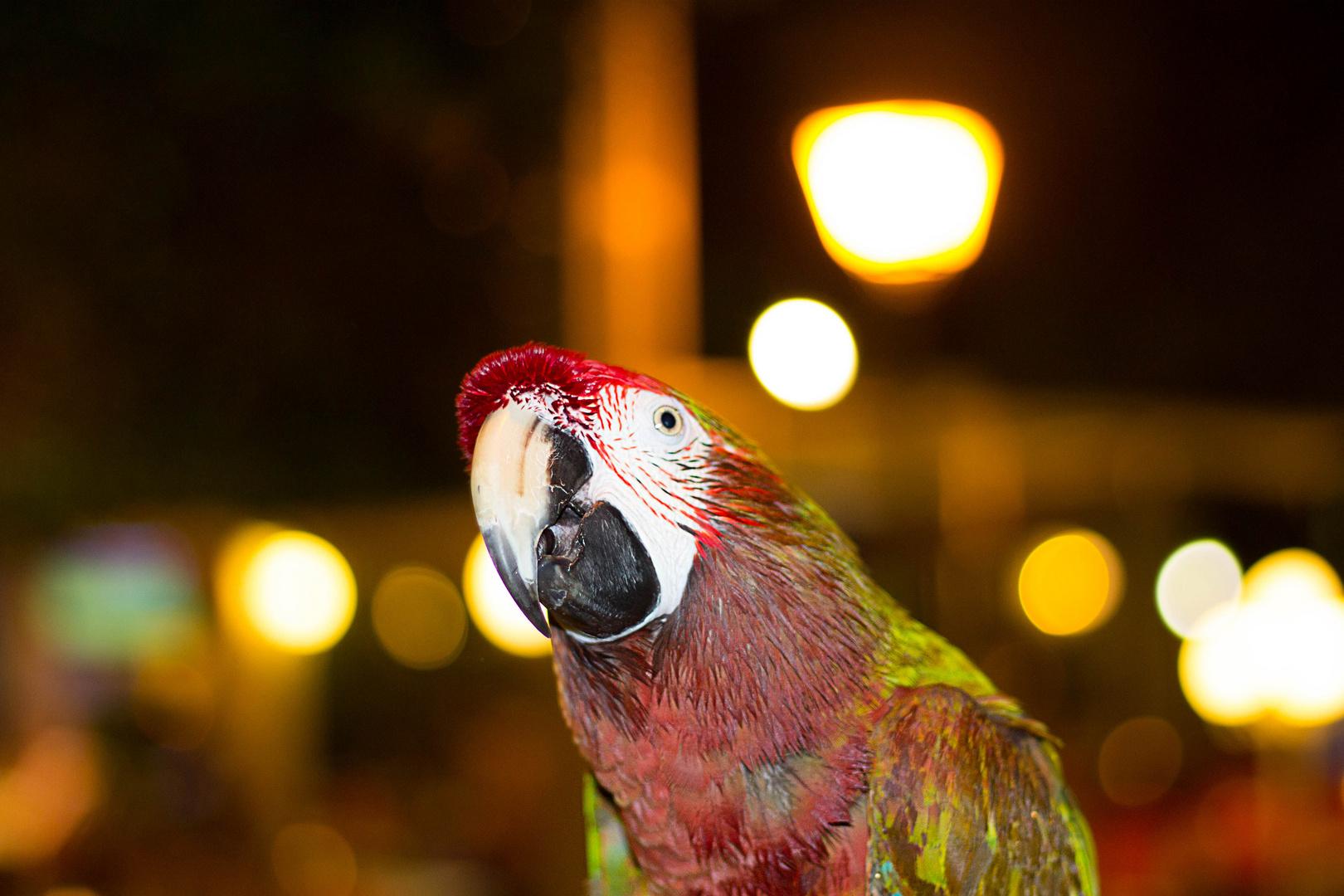 Papagei in einer Cocktailbar in Mallorca