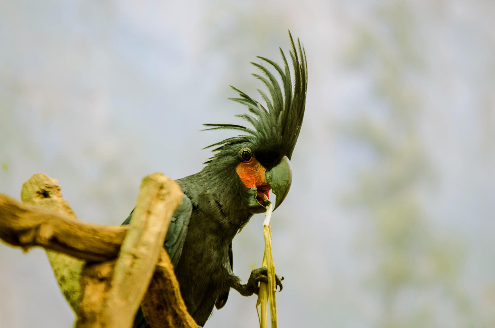 Papagei mit Kamm