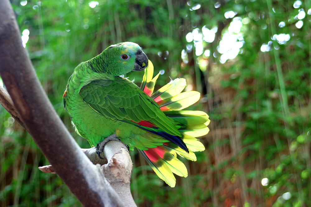 Papageien-Fächer