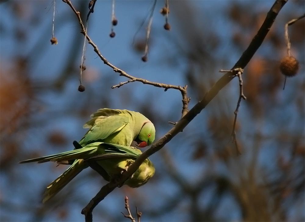 Papageien - gesehen 9km vor Rudesheim am Rhein