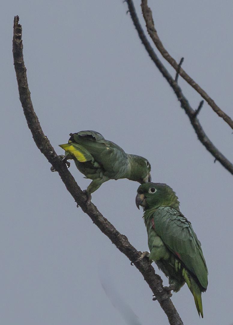 Papageien in einer Salzlake im Dschungel von Peru