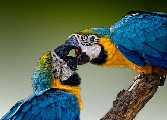 Papageien-Kuss