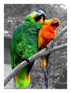 Papageien - Liebe