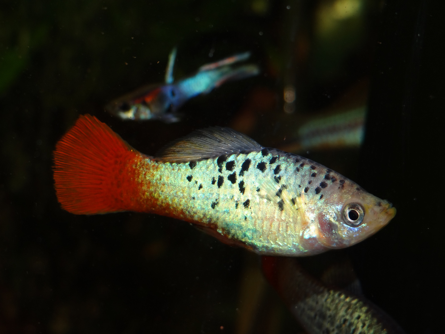 Papageien Platy