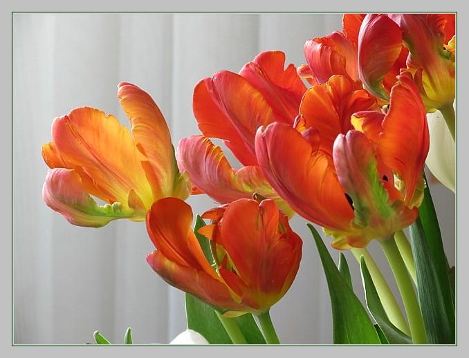 Papageien-Tulpen