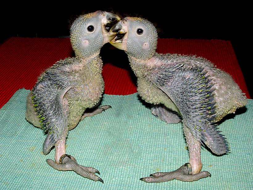 Papageienbabies 2 (22 Tage alt)