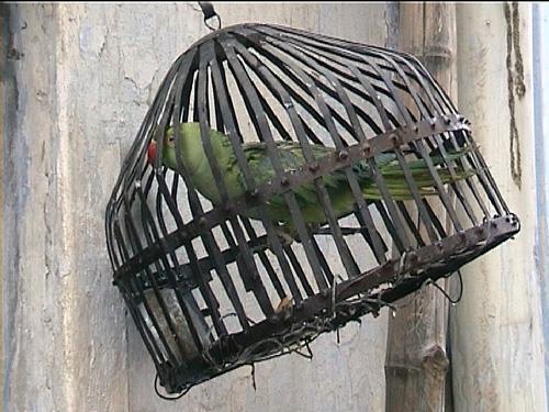 papageienkaefig in varanasi_indien