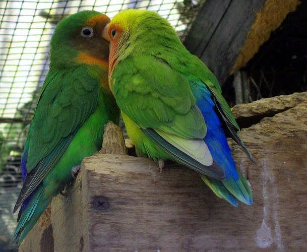 Papageienzärtlichkeit