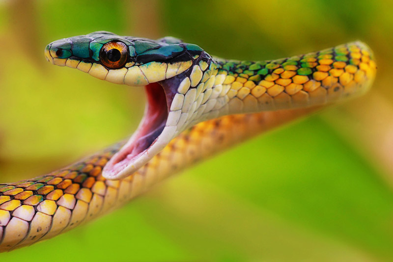Papageischlange (Leptophis ahaetulla)