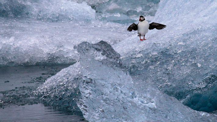 Papageitaucher auf dem Eis