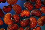 Papaver - Samen - Mikroskopaufnahme