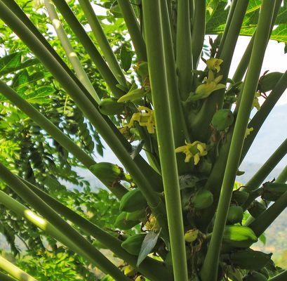Papayablüte am Papayabaum