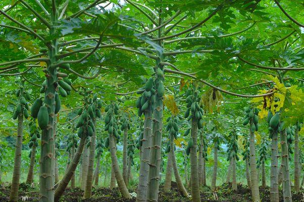Papayas ...