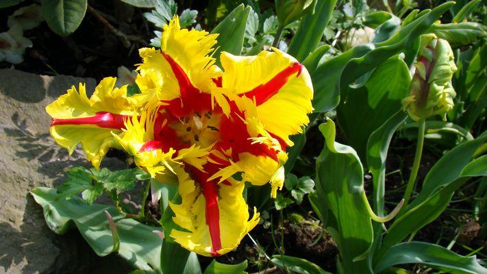 Papegei-Tulpe 'Flaming Parrot'