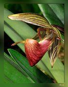 Paphilopedium-rothschilidianum